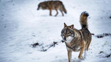 Авторите на изследването са стигнали до извода, че вълците по природа са склонни да работят
