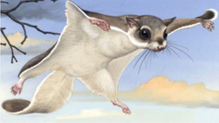 летяща катерица