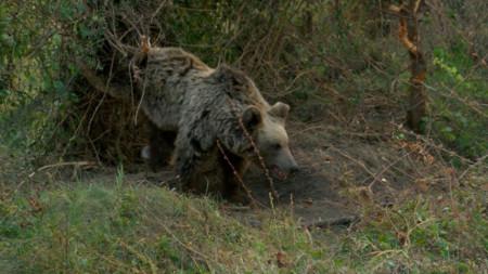 Мечка попаднала в капан на бракониери