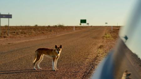 Класификацията на динго отдавна е предмет на спорове в Австралия.