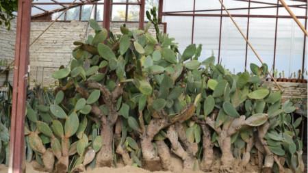 Служители на градината, съвместно с колеги от УБГ Екопарк – Варна, пренесоха на ръце огромните растения.