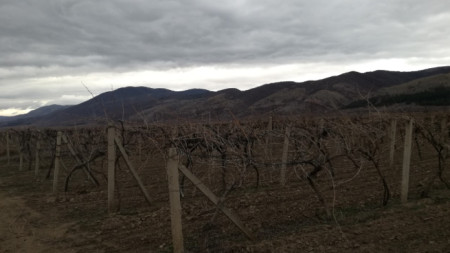 Лозовите масиви край Глушник има опасност да запустеят, ако изкупната цена на гроздето се запази на миналогодишните нива от 20-30 ст. за килограм