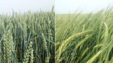 Buğday ve arpa ekini