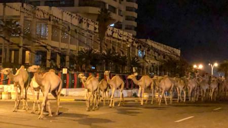 Преминаващите по улиците на Триполи камили.