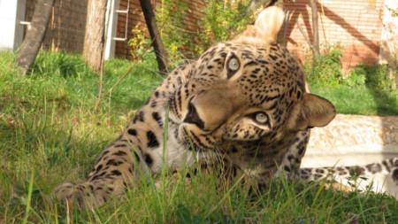 Леопардът Дан в очакване на своята нова партньорка