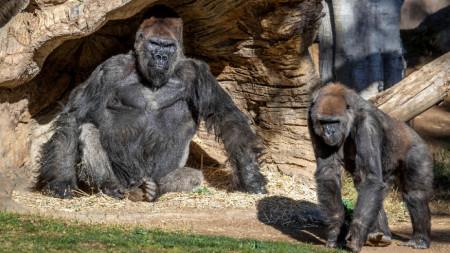 Горили в зоопарка в Сан Диего.
