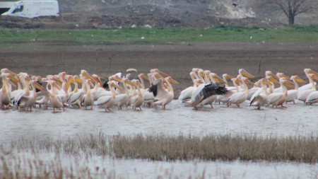 Пеликаните в местността