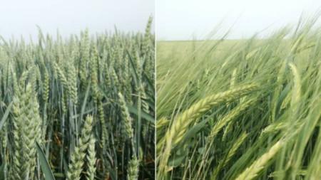 Buğday ve arpa