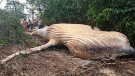 Тялото на кита та остров Маражо край устието на река Амазонка.