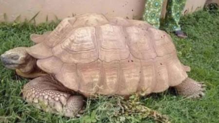 Експерти се съмняват, че Алагба е на 344 години, тъй като средната възраст на костенурките е около 100 години.