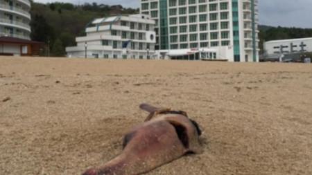 делфини, Златни пясъци