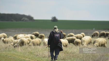 Овчар в село Искър, Варненско