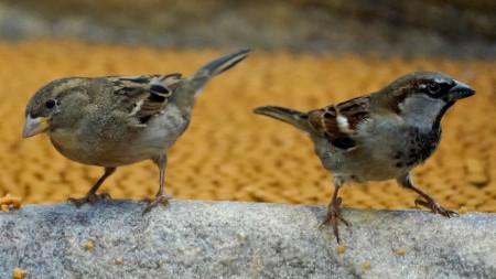 Двойка домашни врабчета (Passer domesticus) - най-разпространеният в градовете вид от групата на пойните птици. За жалост през последните години популацията на врабчетата в градовете е силно намаляла.