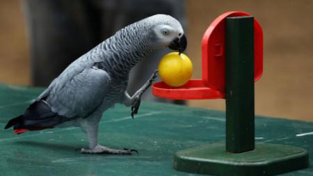 Жако, африкански сив папагал – притежава изключителната дарба да говори и да имитира почти всички звуци