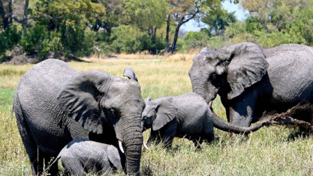 Слонове край р. Окаванго в Ботсвана