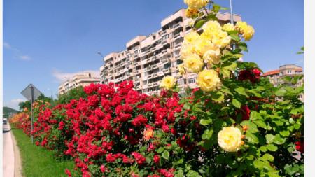 Новозасадени рози по бул.