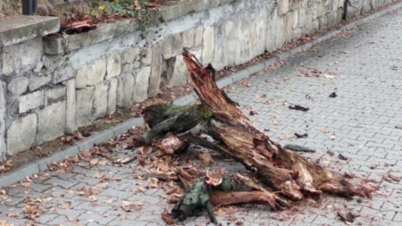"Падналото дърво на бул. ""Драган Цанков"" в София"