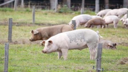 През 2019 г. от африканска чума по свинете пострада и свиневъдството в България.