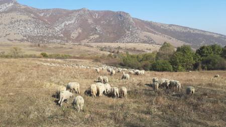 Реплянска порода овце, която се отглежда в Чипровци, Чупрене и Белоградчик