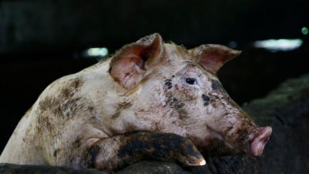 Над 6 млн. прасета са убити в Азия заради заболяването.