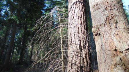 Корояд поразява горски масиви в Смолянска област.