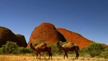 Едногърби камили са били внесени в Австралия през 40-те години на XIX век от колонизатори=
