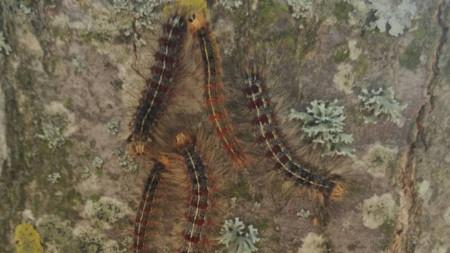 Гъботворката е пеперуда, чиято гъсеница изяжда листата на широколистните дървета.