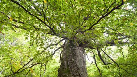 350-годишно буково дърво, Средна гора