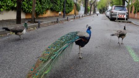 Пауни се разхождат по пуста улица в Мадрид, след като напуснаха парка, в който обикновено живеят.