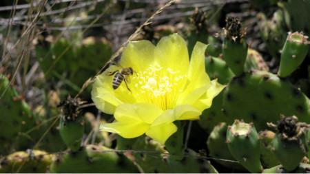 Обикновена опунция (Opunitia humifusa), местността Побити камъни над гр. Белослав