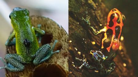 При немоногамните видове женската, като отровната жаба Oophaga pumilio (вляво), осигурява почти всички грижи за потомството. Докато при моногамните – като жабата Ranitomeya imitator (вдясно), тази дейност е споделена.