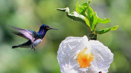 Колибритата са рекордьори по брой на махове на крилата
