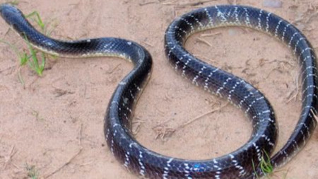 Индийският крайт (Common Krait) е от най-отровните змии в света