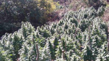 Растенията - общо 229 на брой, били добре обгрижвани и с височина около 2 метра.