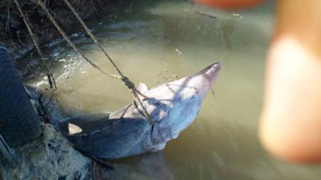 200-килограмова моруна, заловена от бракониери в района на Силистра