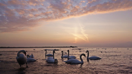 Утро край морето и лебедите