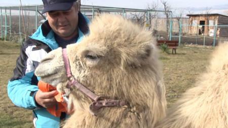 В началото на годината паркът за диви животни Zoo Бургас се сдоби с нов обитател - двугърбата камила Бейби.