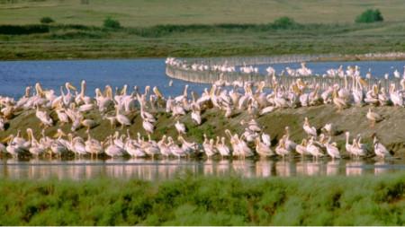 Розови пеликани в Атанасовскотo езеро