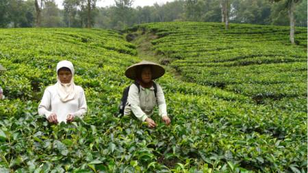 Чаената плантация Ганунг Мас в местността Пунчак на 90 км от индонезийската столица Джакарта.
