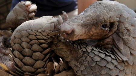 Панголин, животните често са обект на бракониерски улов и се използват за храна на места в Азия