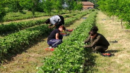Производството на ягоди е труден, но доходоносен бизнес, констатират горските