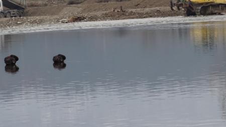 Двойка черни лебеди в река Струма