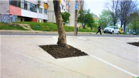Служители установили, че бетонът около дърветата е изчезнал и са оформени гнезда
