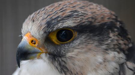 Далматински сокол, герак (Falco biarmicus)