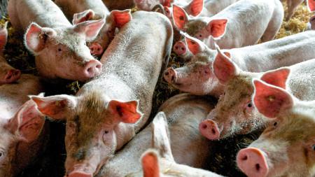 Търси се начинът, по който вирусът на заразното за свинете заболяване е проникнал в свинекомплекса.