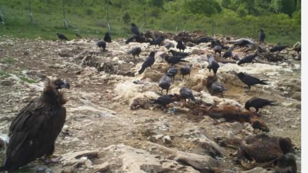 Черни лешояди във Врачанския Балкан