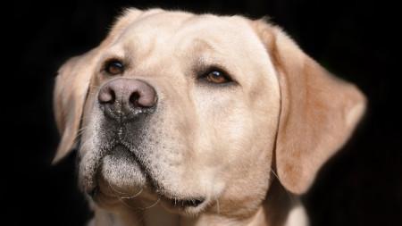 Лабрадорите са чудесни кучета-асистенти