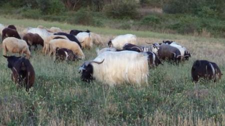 Калоферска дългокосместа коза