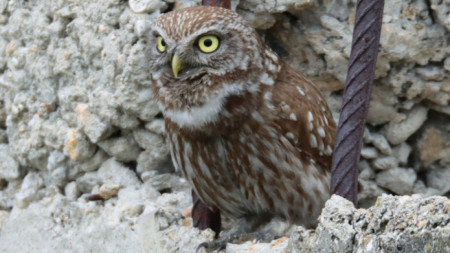 Little owl (photo). Author: His Excellency Maciej Szymanski