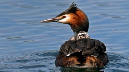 Голям гмурец (Podiceps cristatus, наричан и Гмурец рогач, Дългъч) плува с малко на гърба си.